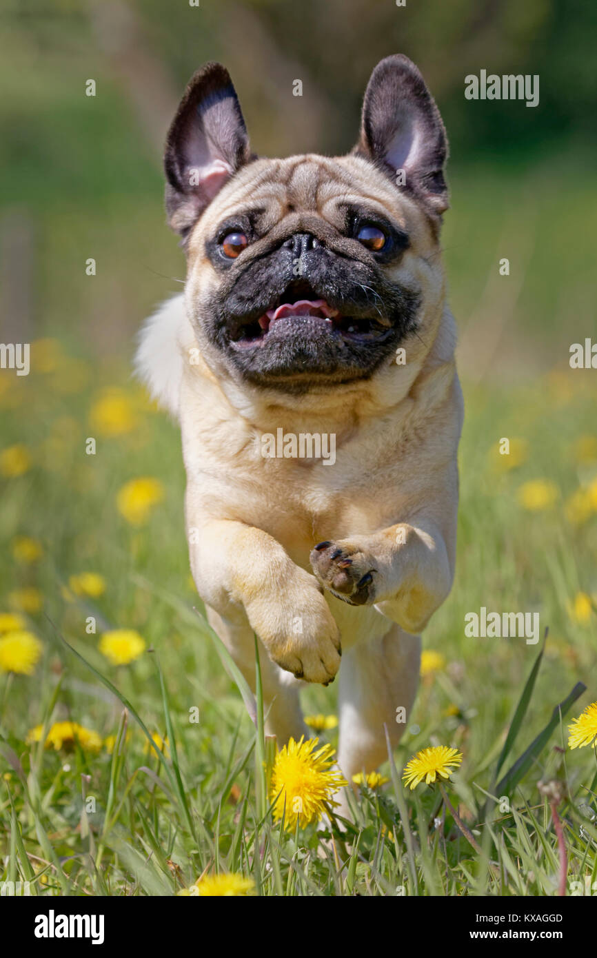 Pug runs in a dandelion meadow,Germany - Stock Image
