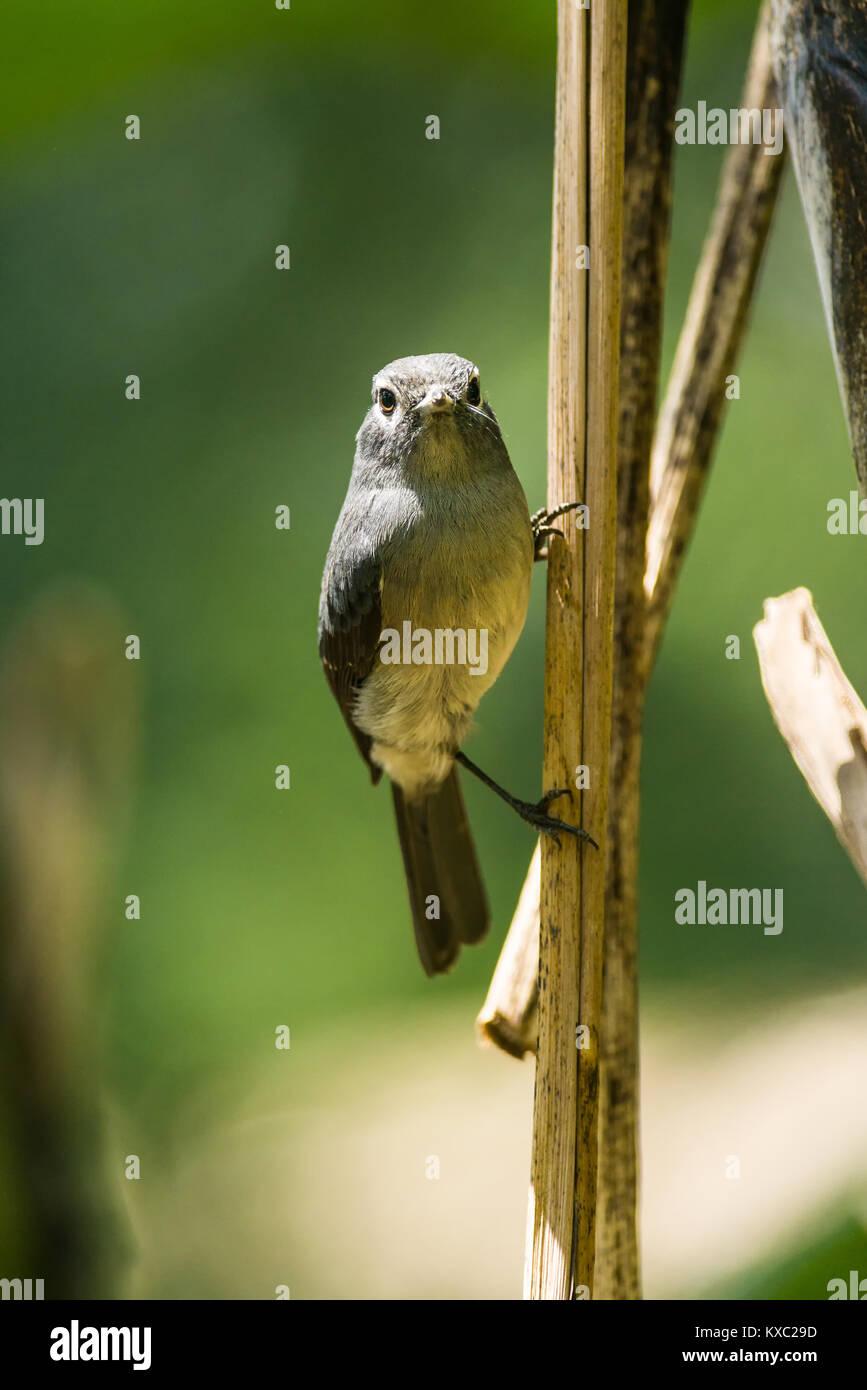 White-eyed slaty flycatcher (Melaenornis fischeri) perched on a branch in daylight, Nairobi, Kenya - Stock Image