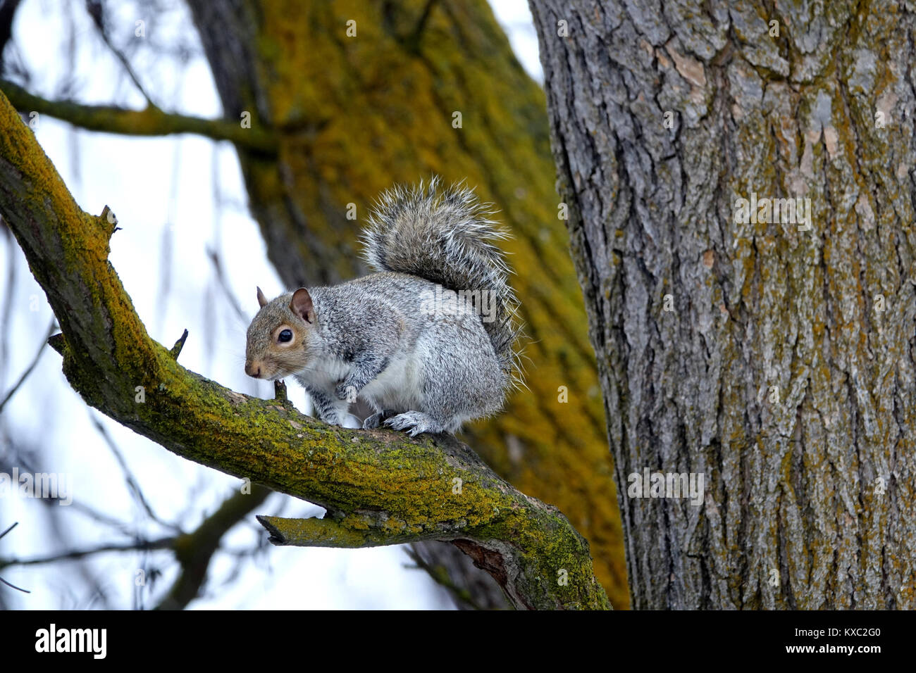Eastern gray squirrels are mid-sized, with relatively narrow tails and short ears compared to western gray squirrels. - Stock Image
