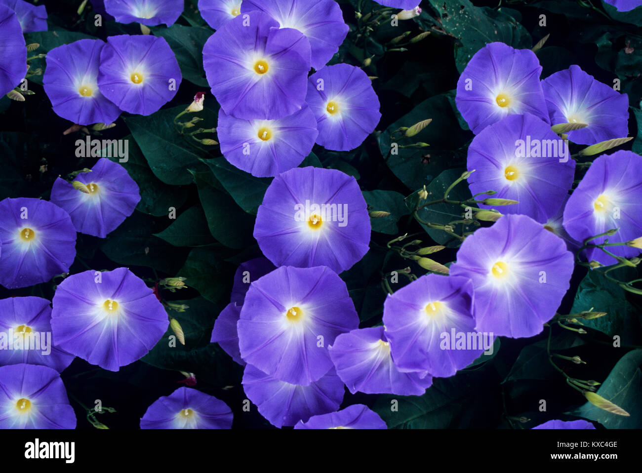 Morning Glories, Bird in Hand, Pennsylvania, USA, Amish country - Stock Image
