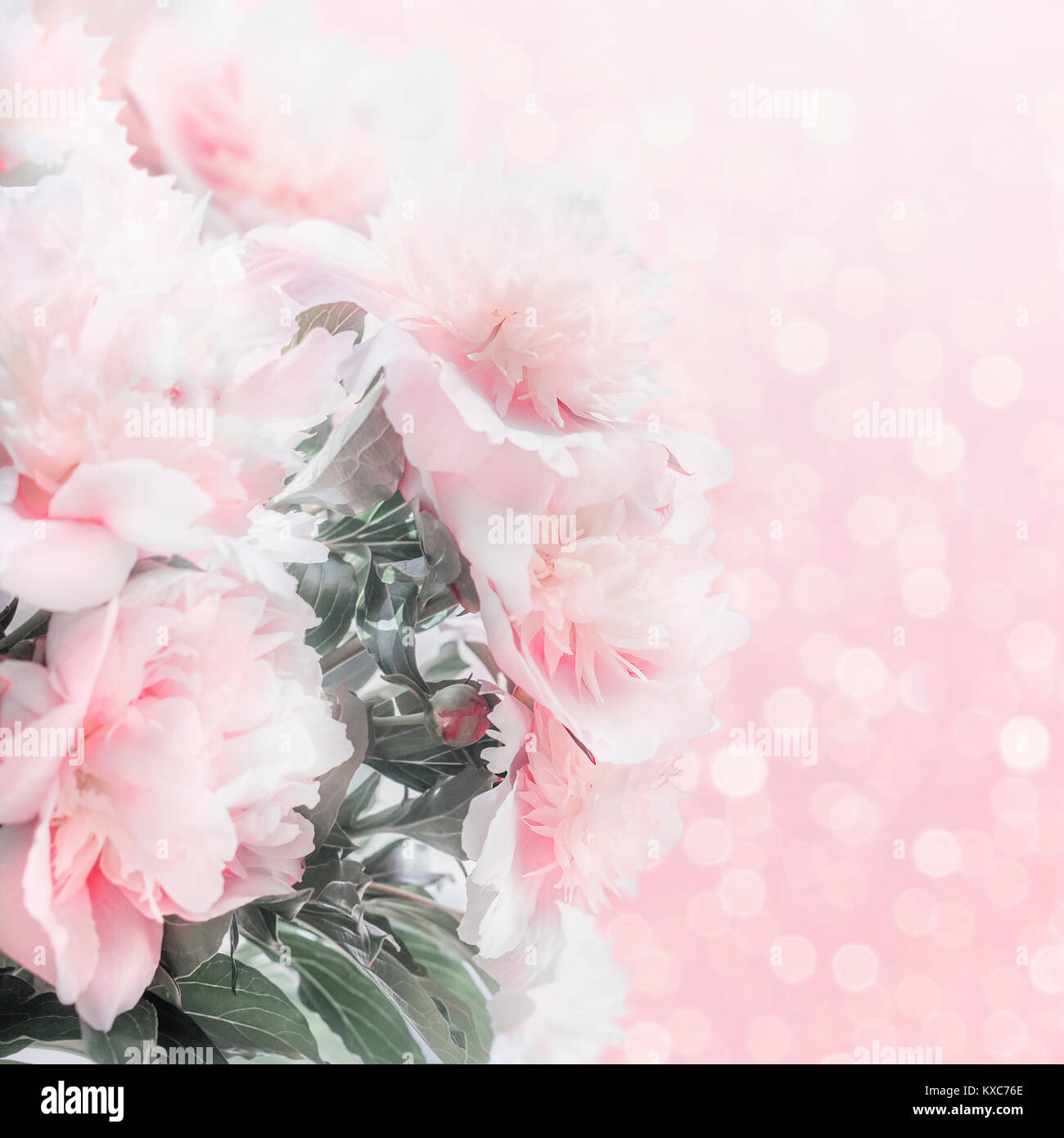 Pretty Pastel Pink Peonies Floral Border With Bokeh Layout Or Stock