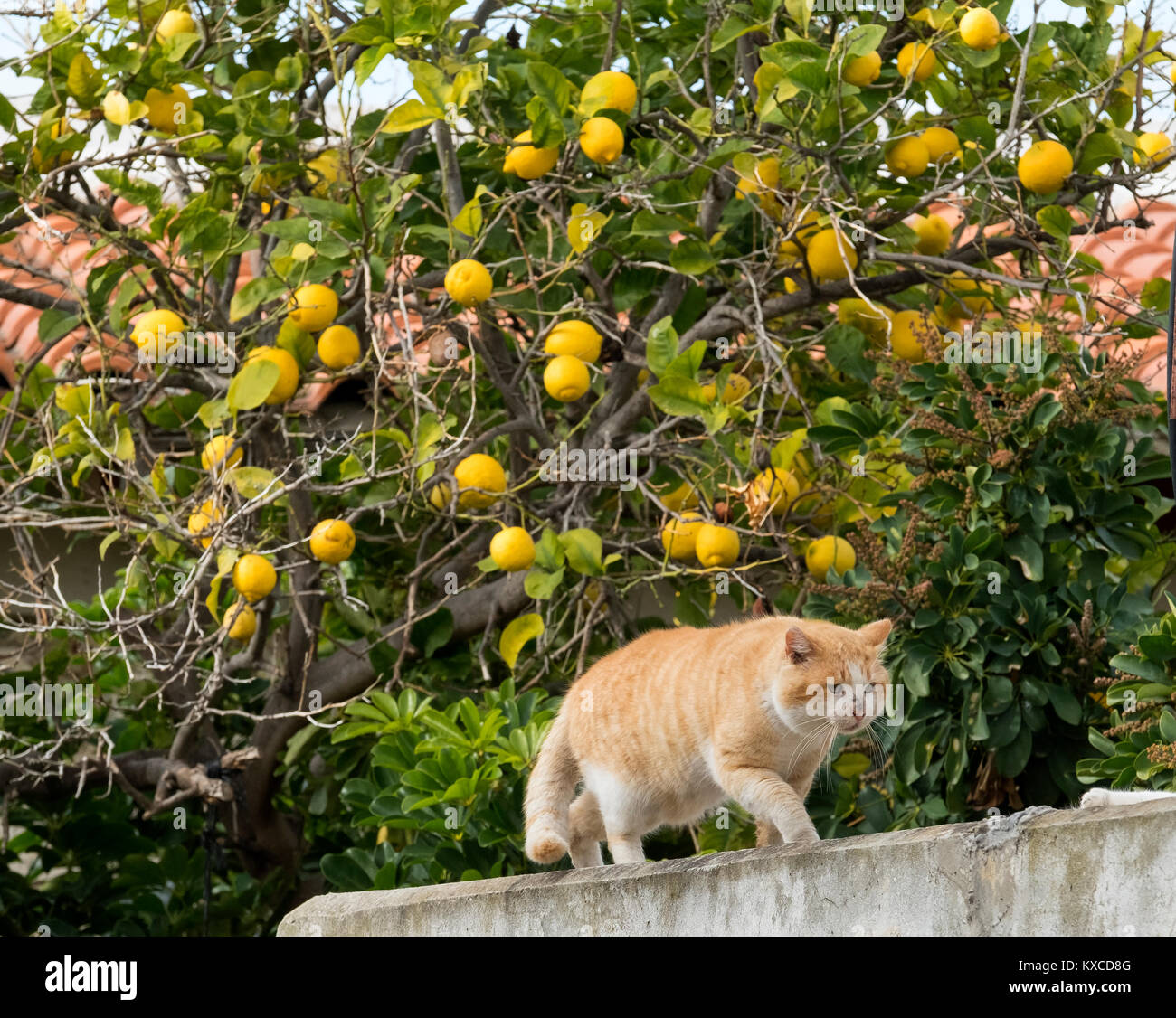 A ginger cat walks along a wall in from of a lemon tree in the village of Tala in the Paphos region, Cyprus - Stock Image