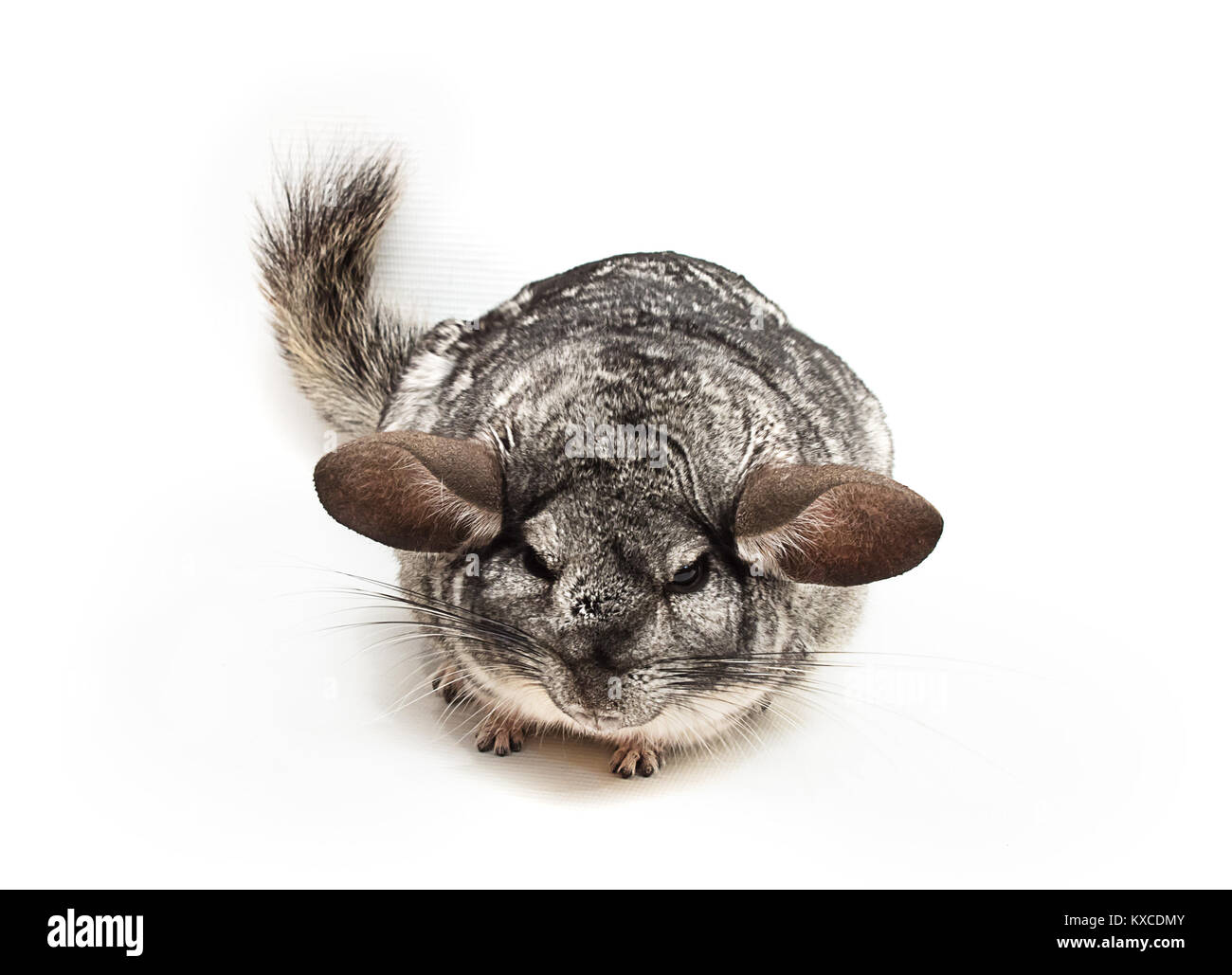 angry silver chinchilla with widely spaced ears - Stock Image