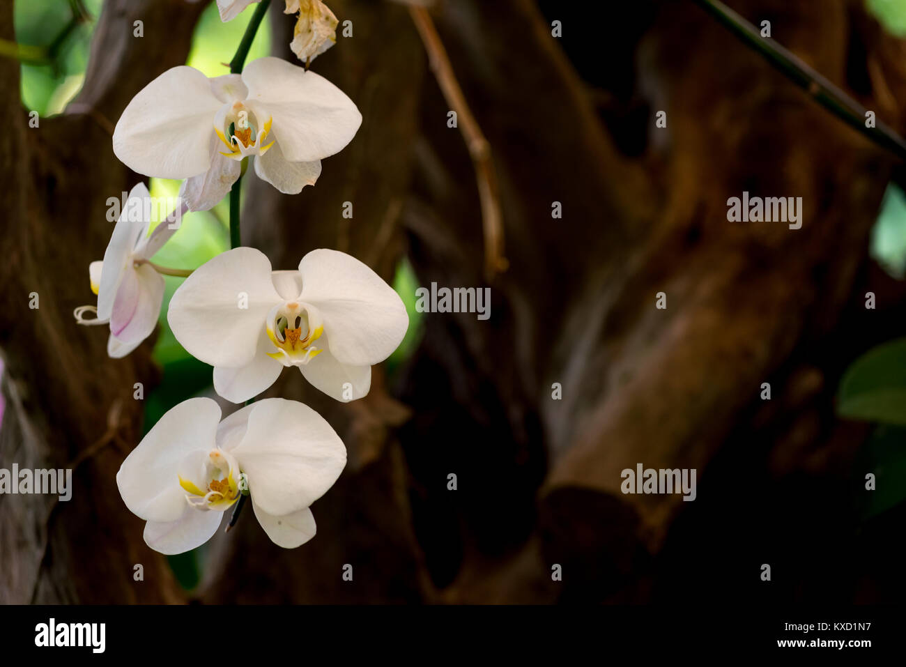 Fresh beautiful orchid flowers growing naturally with forest tree back ground. - Stock Image