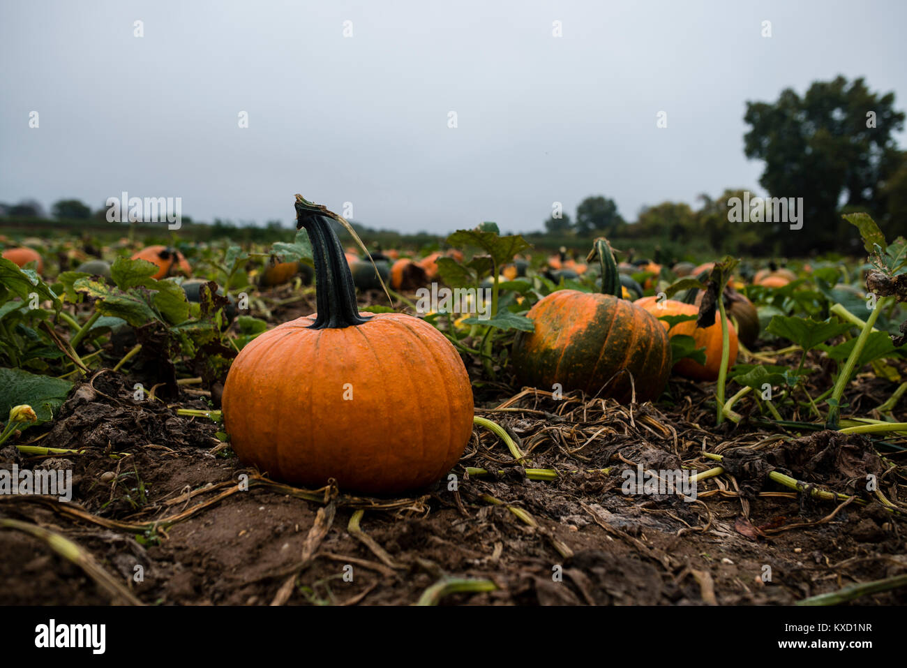 Pumpkins growing on field against cloudy sky - Stock Image