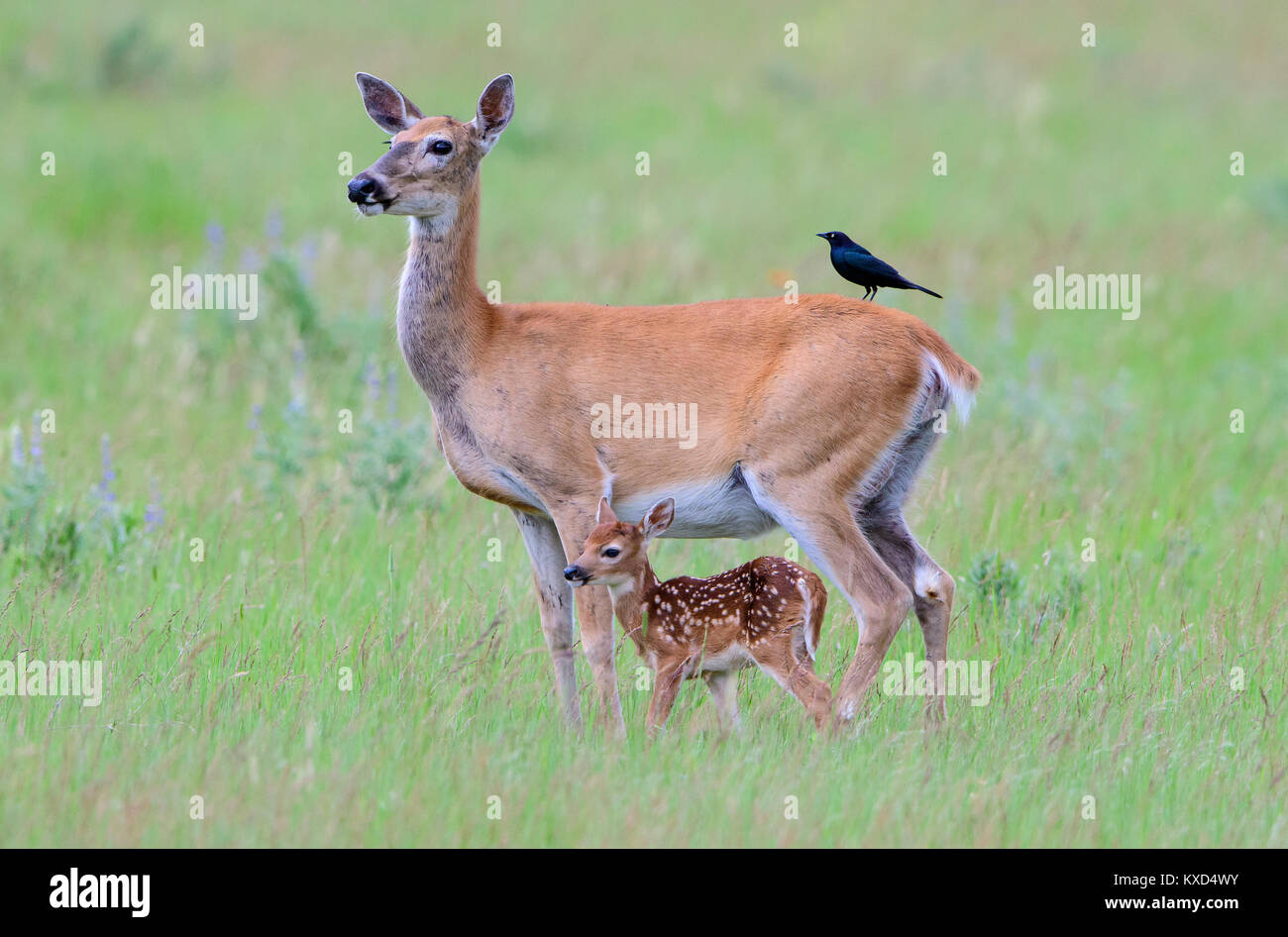 White-tailed deer doe and fawn (Odocoileus virginianus), North America - Stock Image