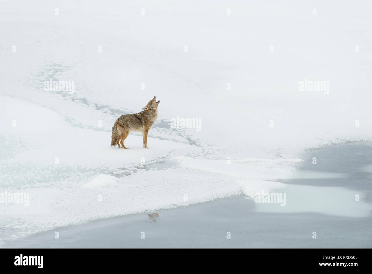 A coyote (Canis latrans) howls during winter, North America - Stock Image