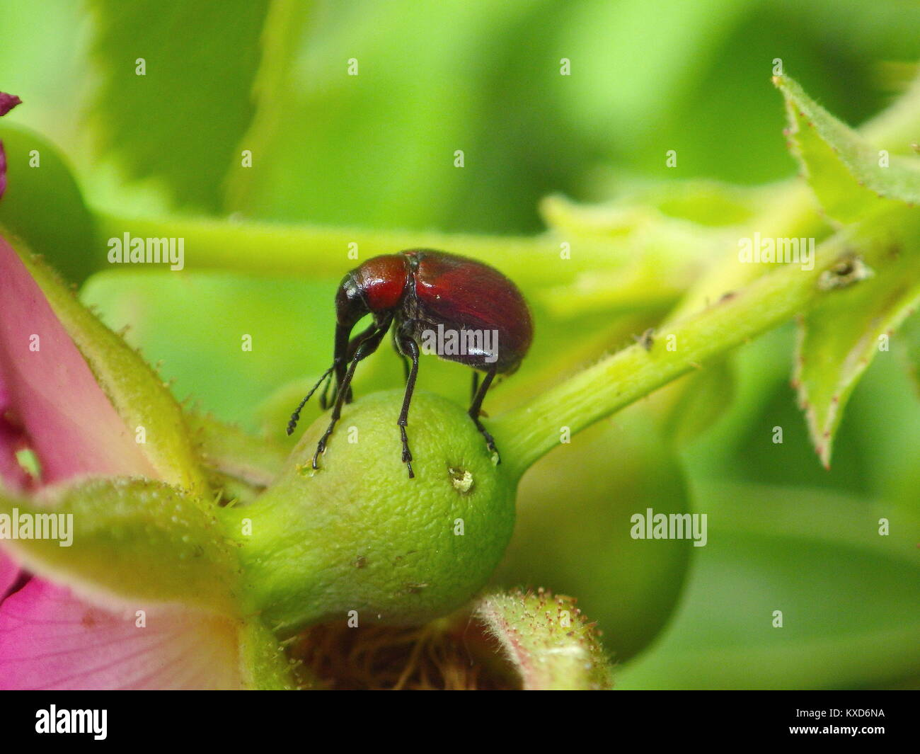 Red Weevil Stock Photos & Red Weevil Stock Images - Alamy