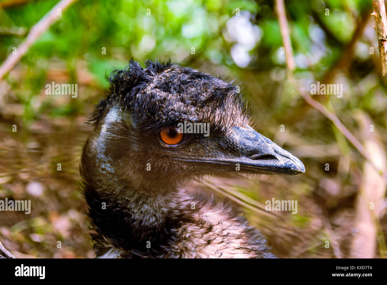 Head and gray neck of a wild animal ostrich bird with orange eyes on a blurry brownish green background - Stock Image
