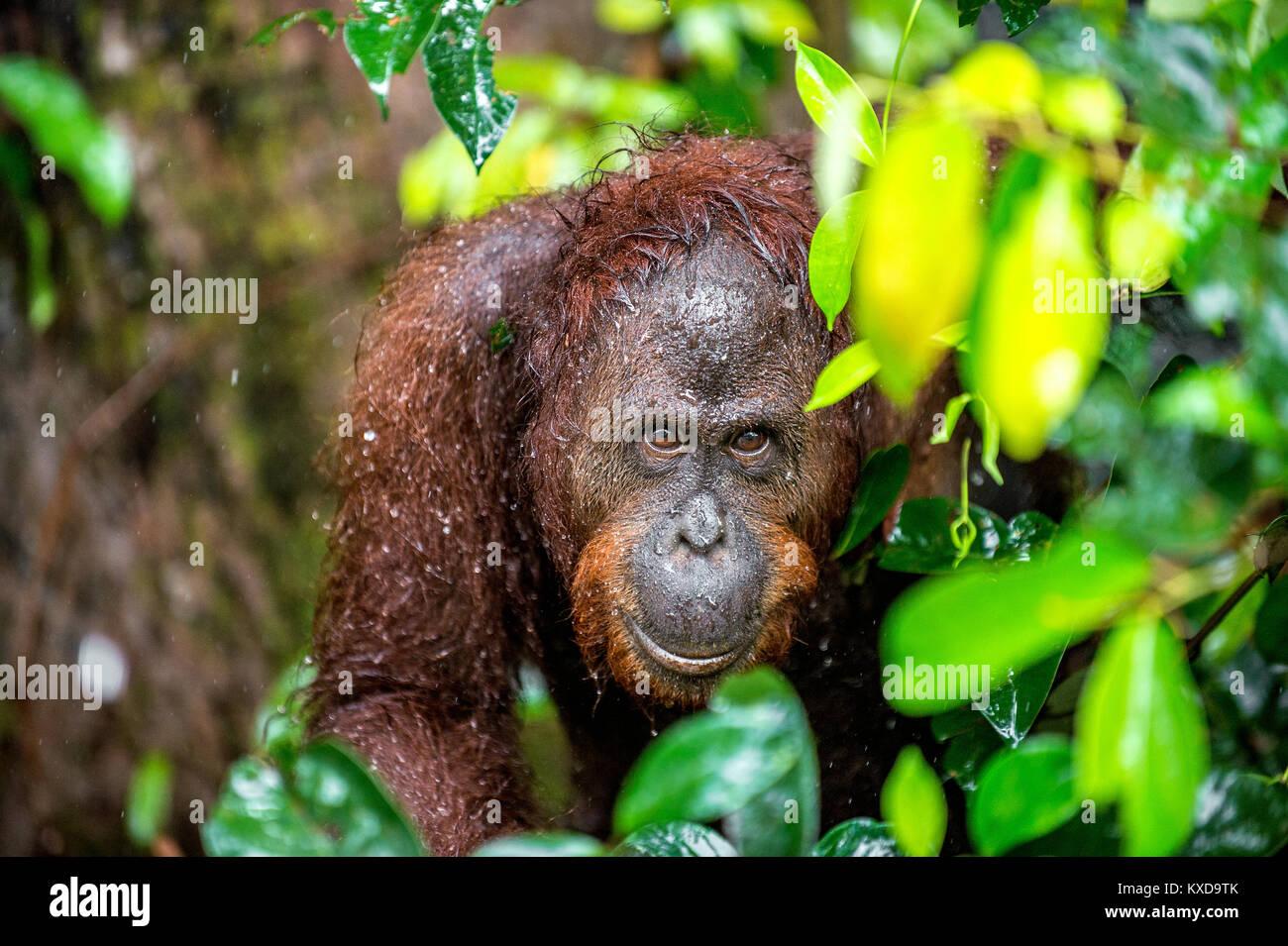 A close up portrait of the Bornean orangutan (Pongo pygmaeus) under rain in the wild nature. Central Bornean orangutan - Stock Image