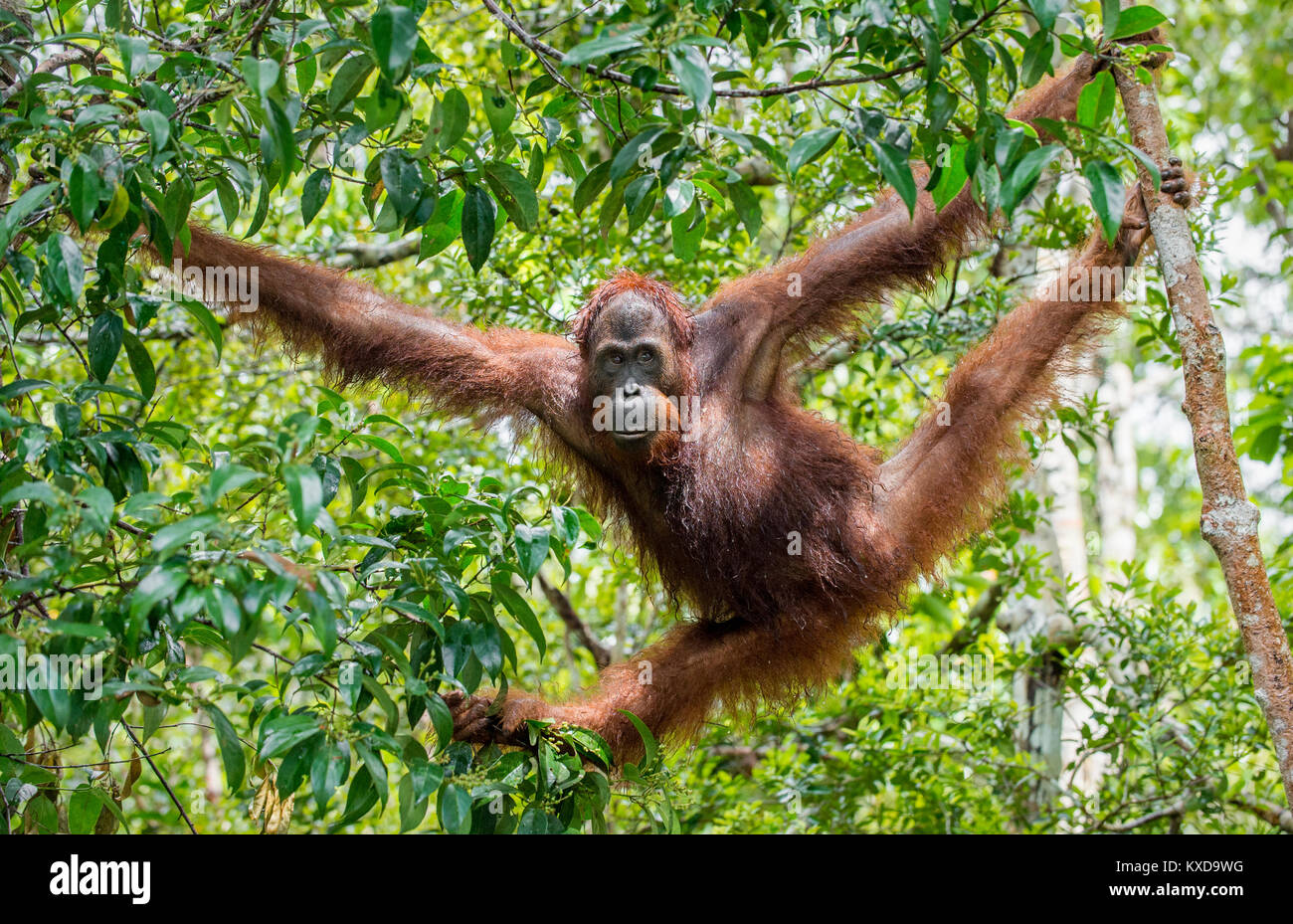 Great Ape on the tree. Central Bornean orangutan  ( Pongo pygmaeus wurmbii ) in natural habitat. Wild nature in - Stock Image