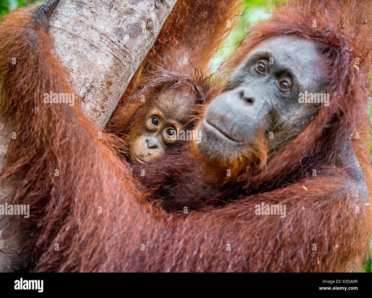 A female of the orangutan with a cub in a natural habitat.  Central Bornean orangutan (Pongo pygmaeus wurmbii) in - Stock Image