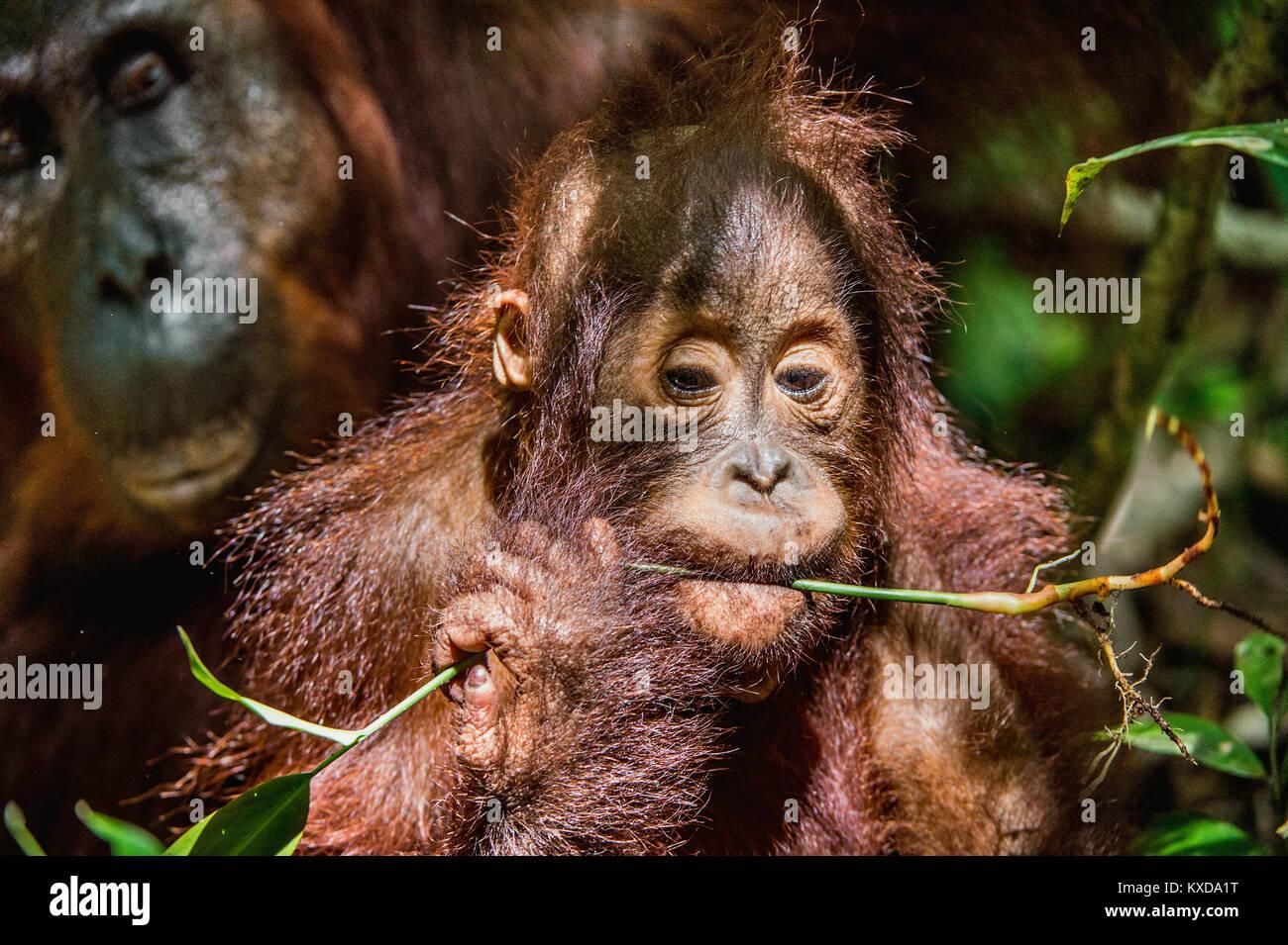 Close up portrait of Orangutan cub in a natural habitat.  Central Bornean orangutan (Pongo pygmaeus wurmbii) in - Stock Image