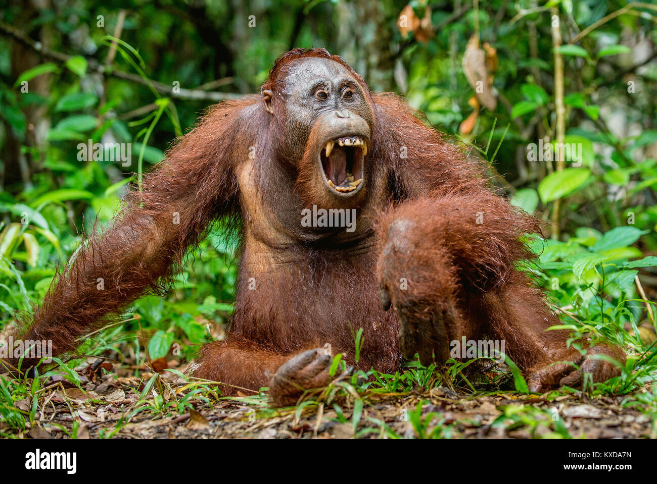 A close up portrait of the Bornean orangutan (Pongo pygmaeus) with open mouth. Wild nature. Central Bornean orangutan - Stock Image