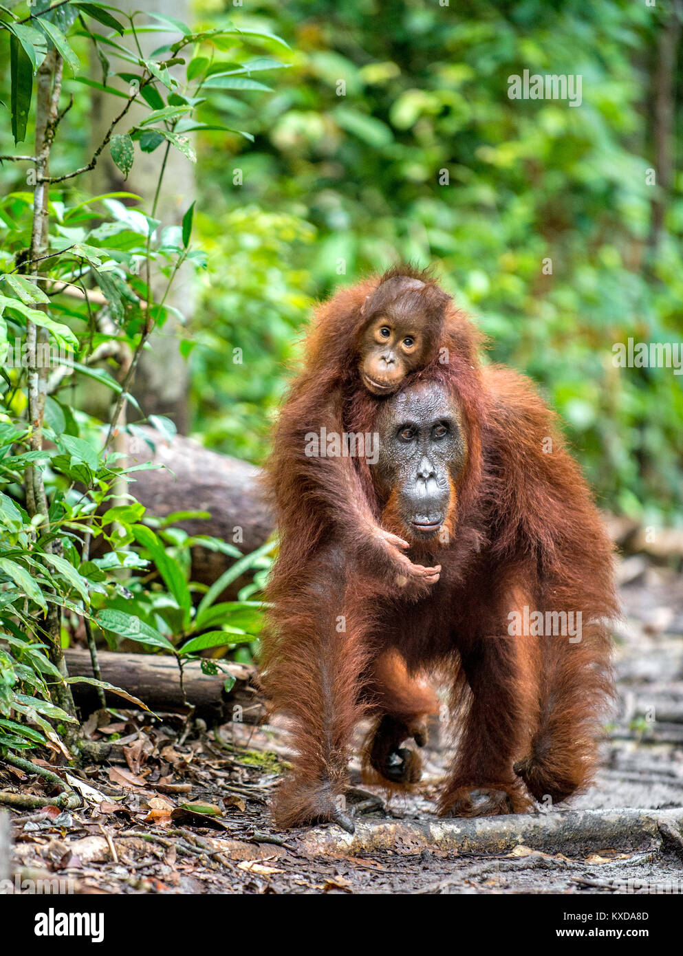 A female of the orangutan with a cub in a natural habitat.  Central Bornean orangutan (Pongo pygmaeus wurmbii) in - Stock Image