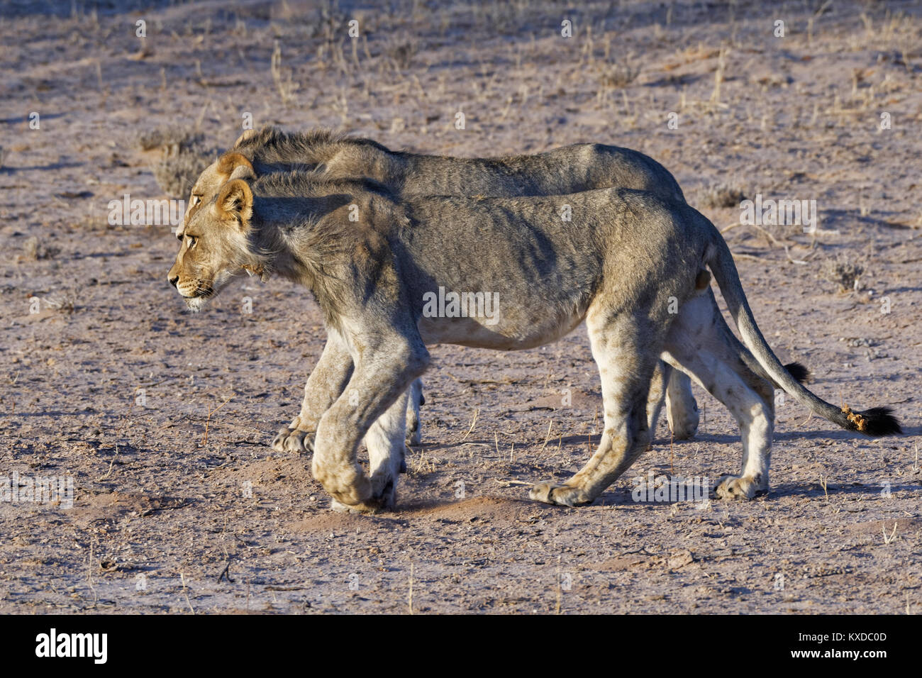African lions (Panthera leo), two young males walking side by side, Kgalagadi Transfrontier Park, Northern Cape, - Stock Image