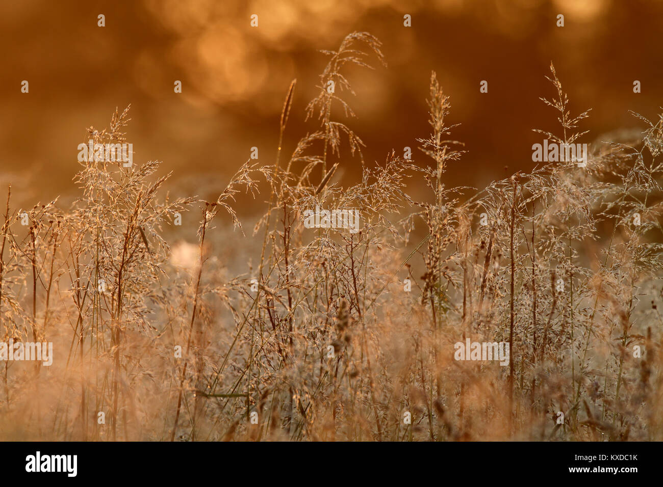 Grass with dewdrops in the back light, Biosphere Reserve Middle Elbe, Dessau-Rosslau, Saxony-Anhalt, Germany - Stock Image