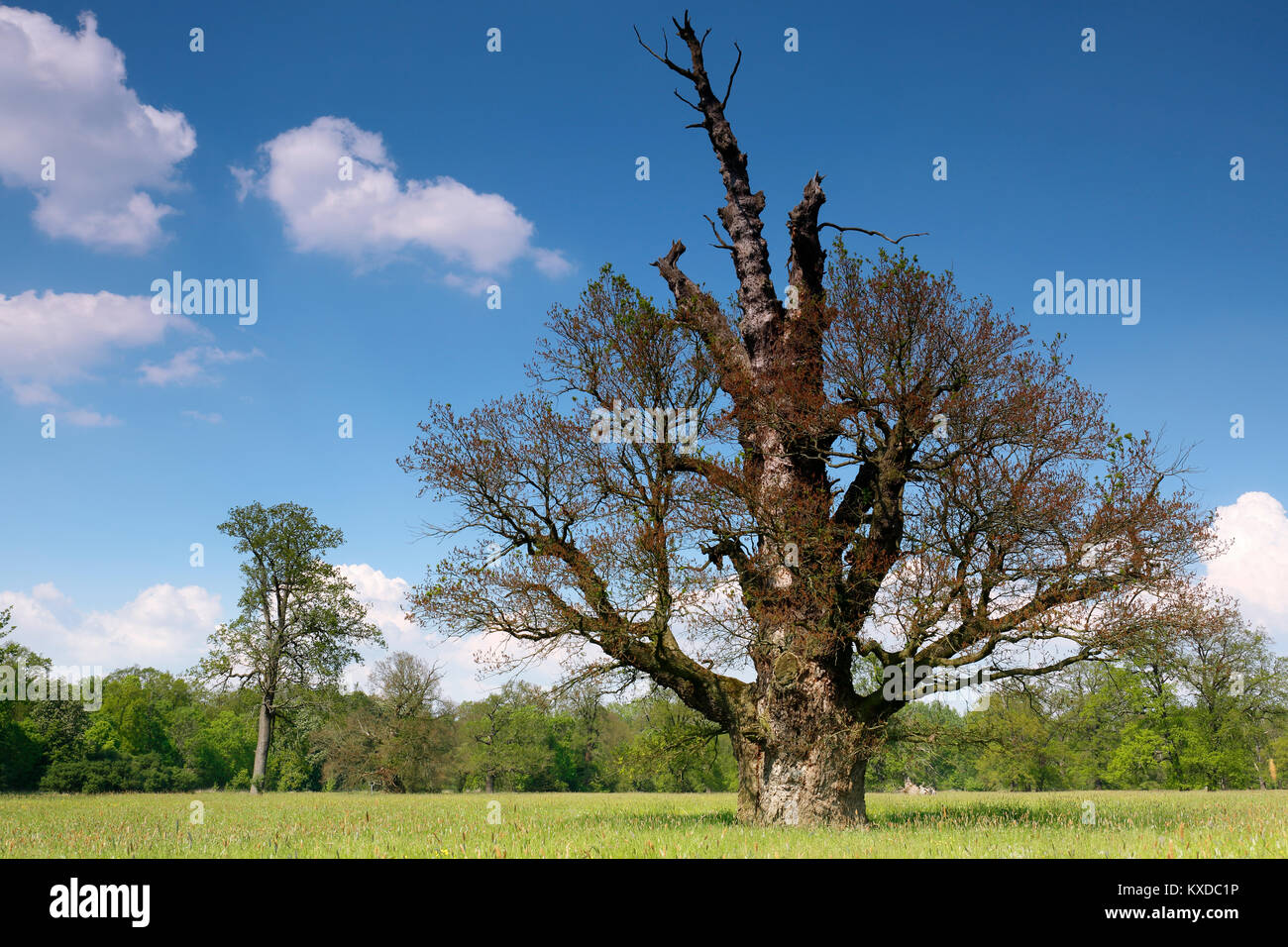 650 years old English oak (Quercus robur), blooming in spring, solitary tree, alluvial forest, Biosphere Reserve - Stock Image