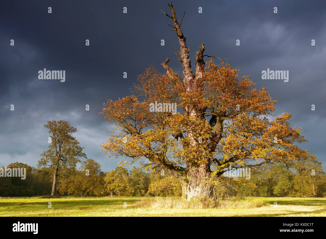 650 years old English oak (Quercus robur) in autumn, solitaire tree, alluvial forest, Biosphere Reserve Middle Elbe - Stock Image