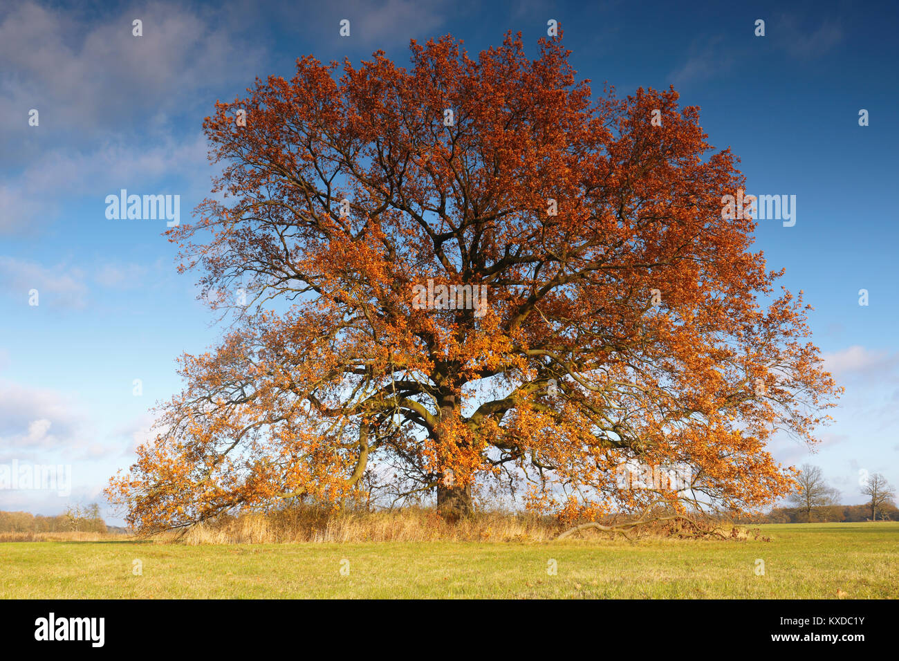 Oak (Quercus), solitary tree in autumn on floodplain meadow, Biosphere Reserve Middle Elbe, Saxony-Anhalt, Germany - Stock Image