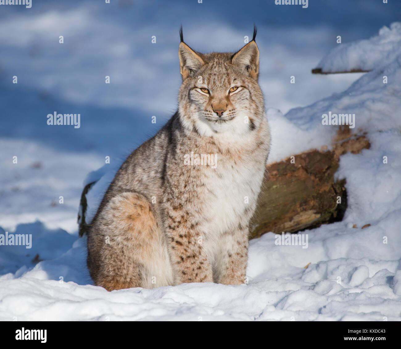 Eurasian lynx (Lynx lynx) sits in the snow,captive,Bavaria,Germany Stock Photo