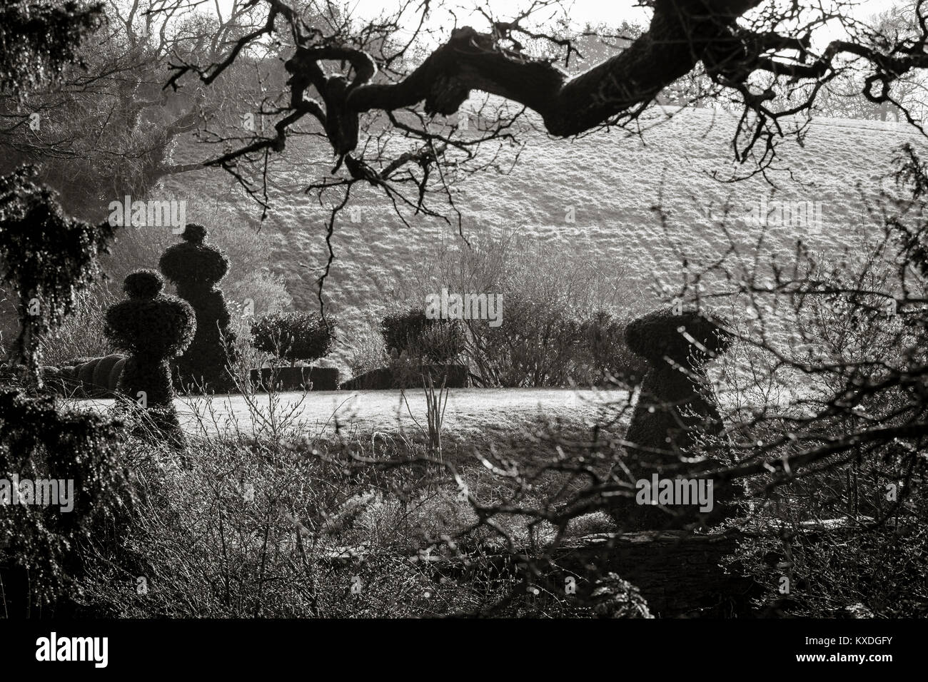 Hanham Court Gradens, Bristol. Chess piece Yew topiary seen from the woodland garden - Stock Image