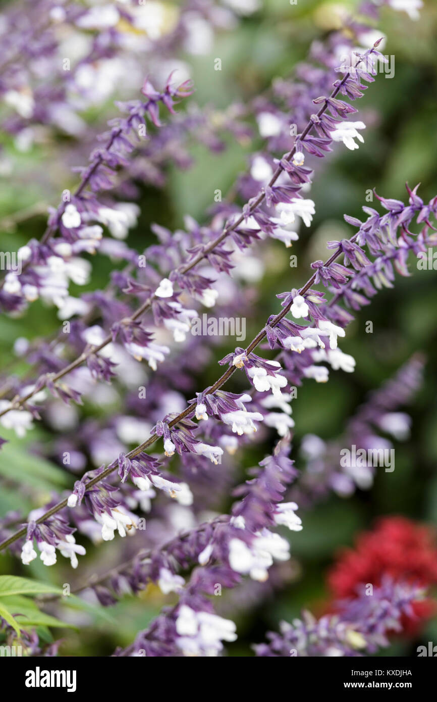 Salvia 'Phyllis' Fancy' - Stock Image