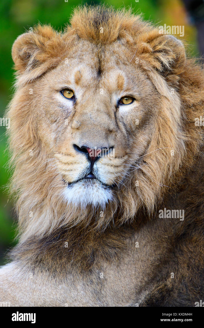 Asiatic Lion (Panthera leo persica), dormant, portrait, captive - Stock Image
