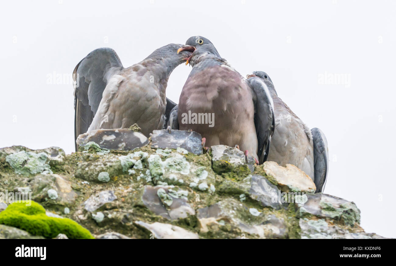 Pigeons courting, looking like they're kissing, in Winter in West Sussex, England, UK. - Stock Image