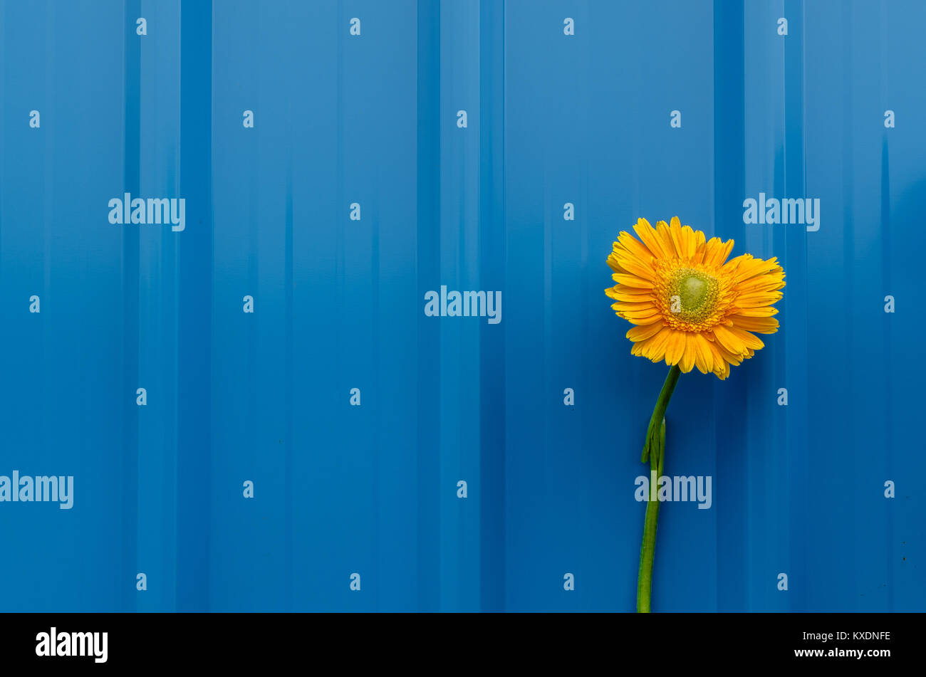 Broken stem beautiful yellow daisy flower over blue tin roofing sheet background displaying concept of hardship, - Stock Image
