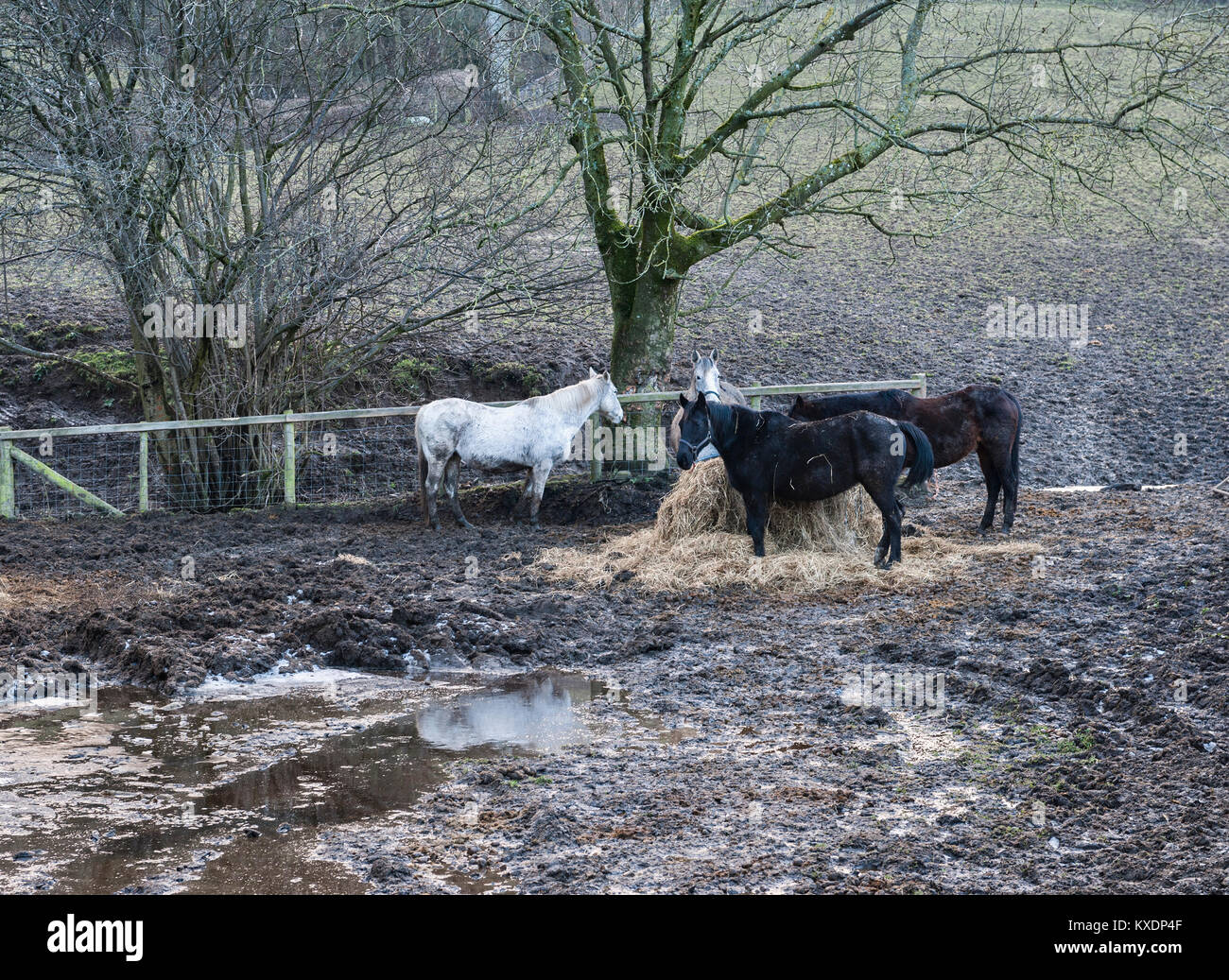 Radnorshire, Wales, UK. Horses standing in a muddy yard on a wet day in winter - Stock Image