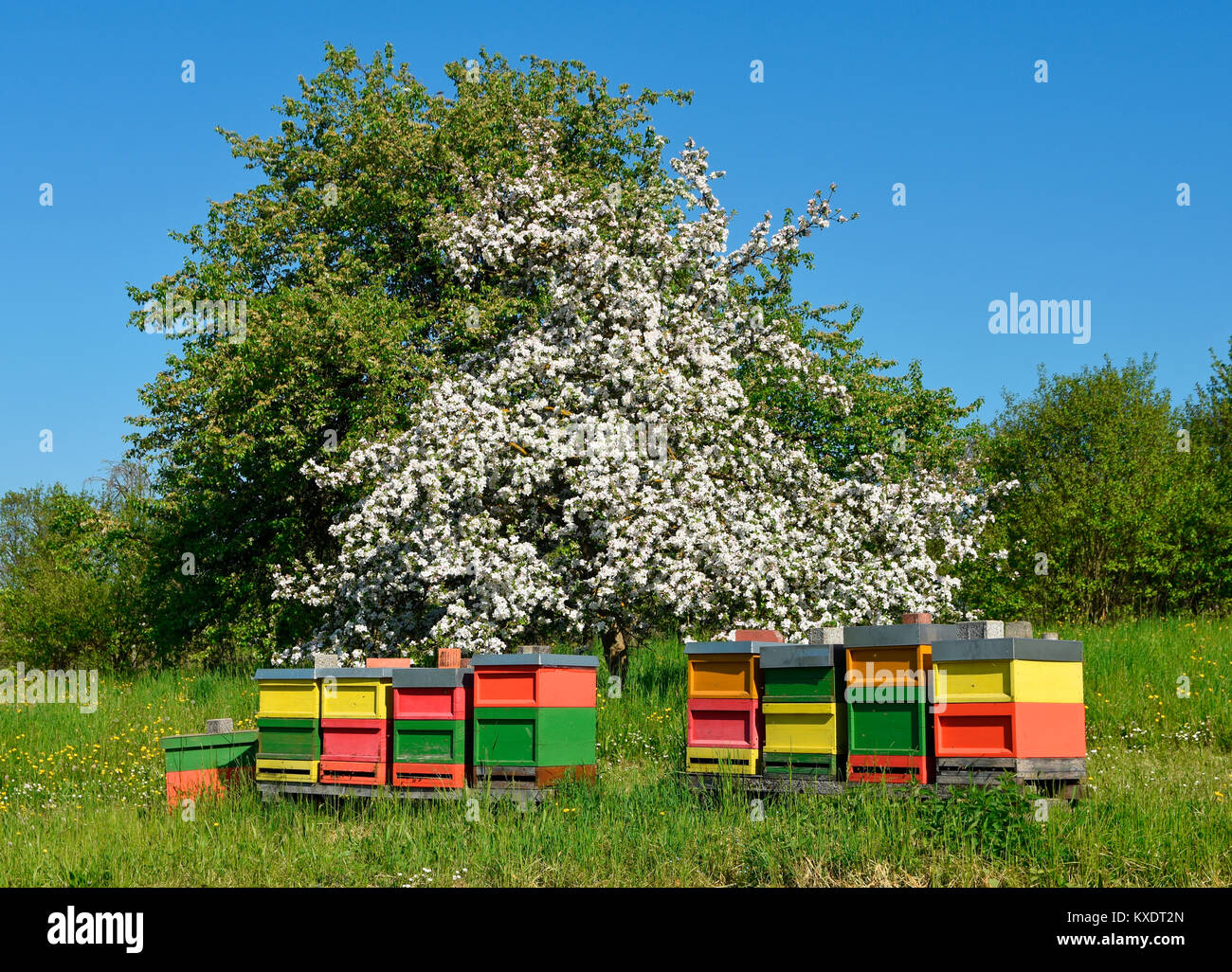 Bee hives in front of a blooming fruit tree, Baden-Württemberg, Germany - Stock Image