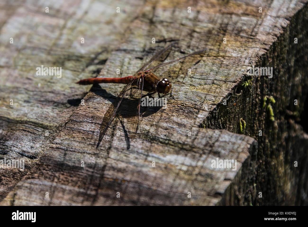 A common darter dragonfly (Sympetrum striolatum) Stock Photo