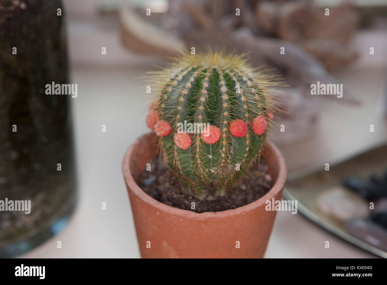 A small house plant cactus with bright pink flowers in a teracotta a small house plant cactus with bright pink flowers in a teracotta pot mightylinksfo