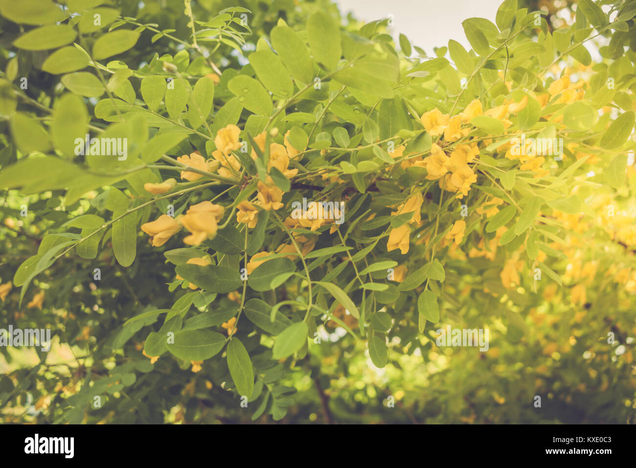 Spring Background With Soft Focus Blooming Green Acacia Tree With