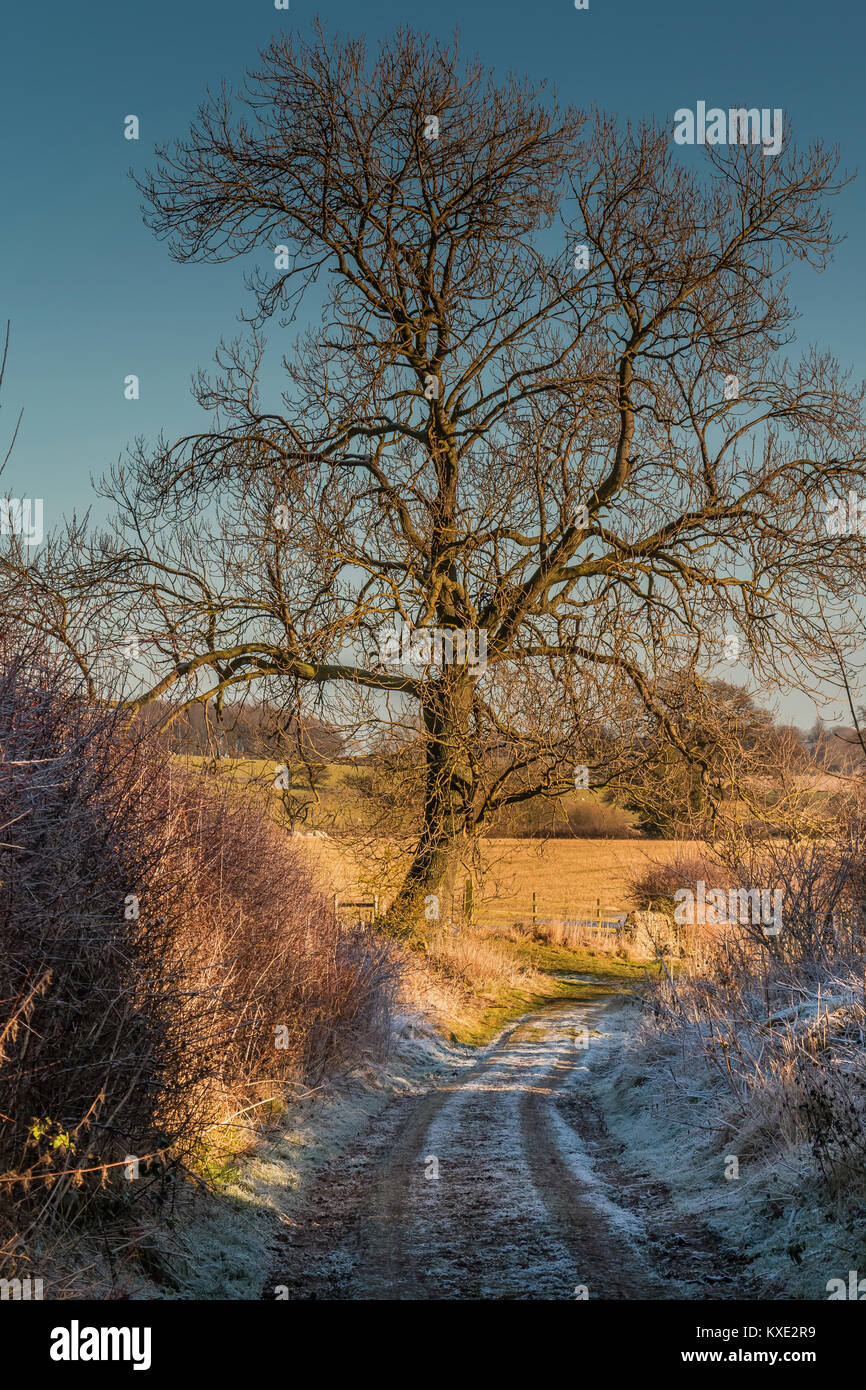 A mature Ash tree on a country track, lit by late afternoon winter sunshine while frost remains in the shade, with - Stock Image