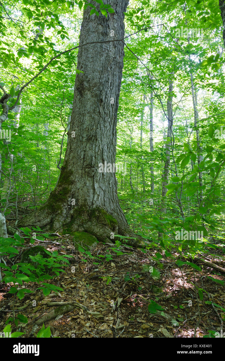 Old sugar maple tree in a northern hardwood forest along the Saco River Trail in Crawford Notch State Park of the Stock Photo