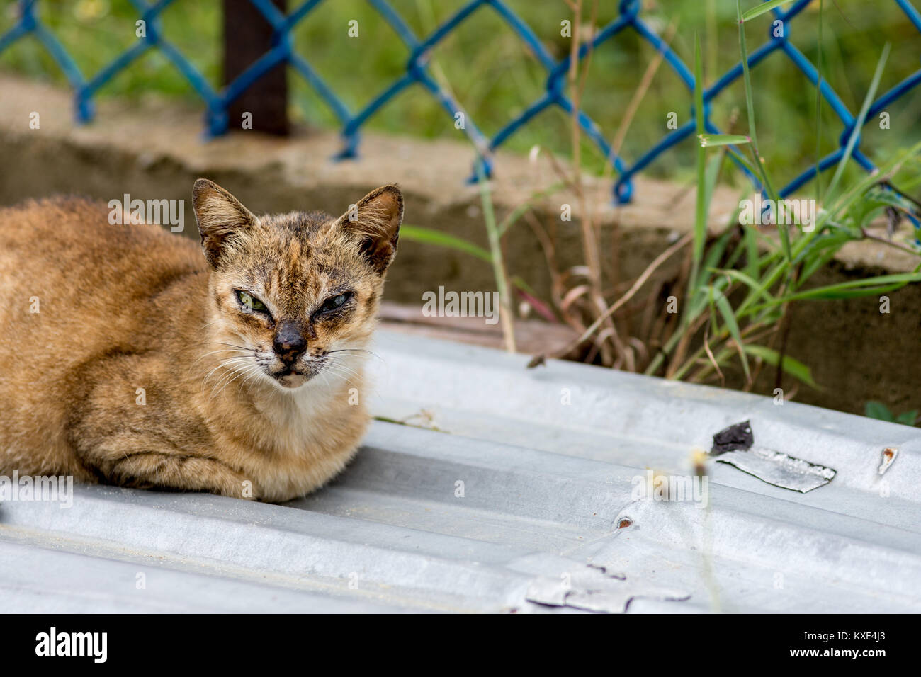 A tough looking street cat with face scars from fighting sat on a corrugated sheet with a fence background with Stock Photo