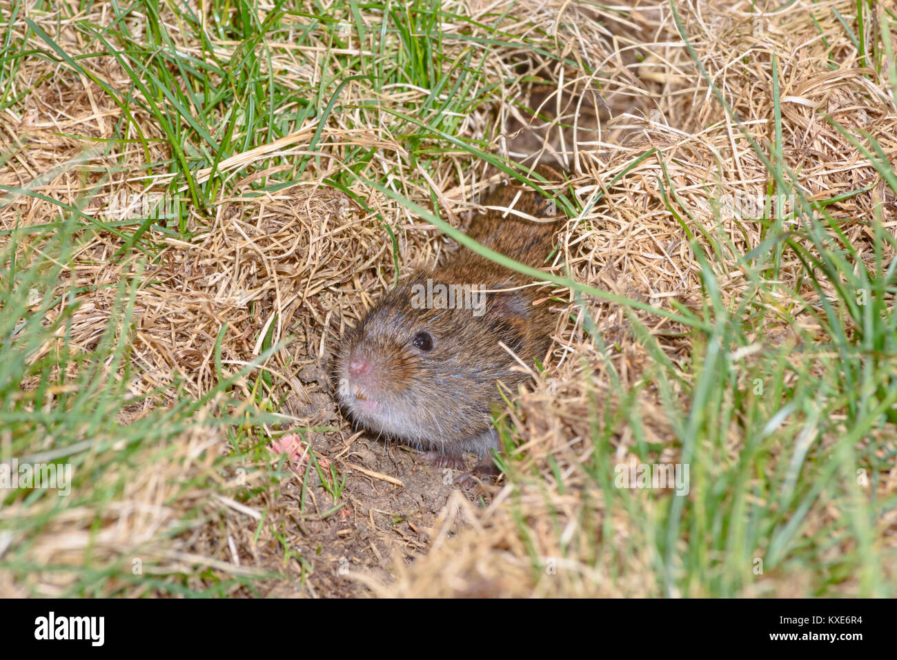 Meadow Vole carefully peering out of it's grassy runway, Castle Rock Colorado US - Stock Image