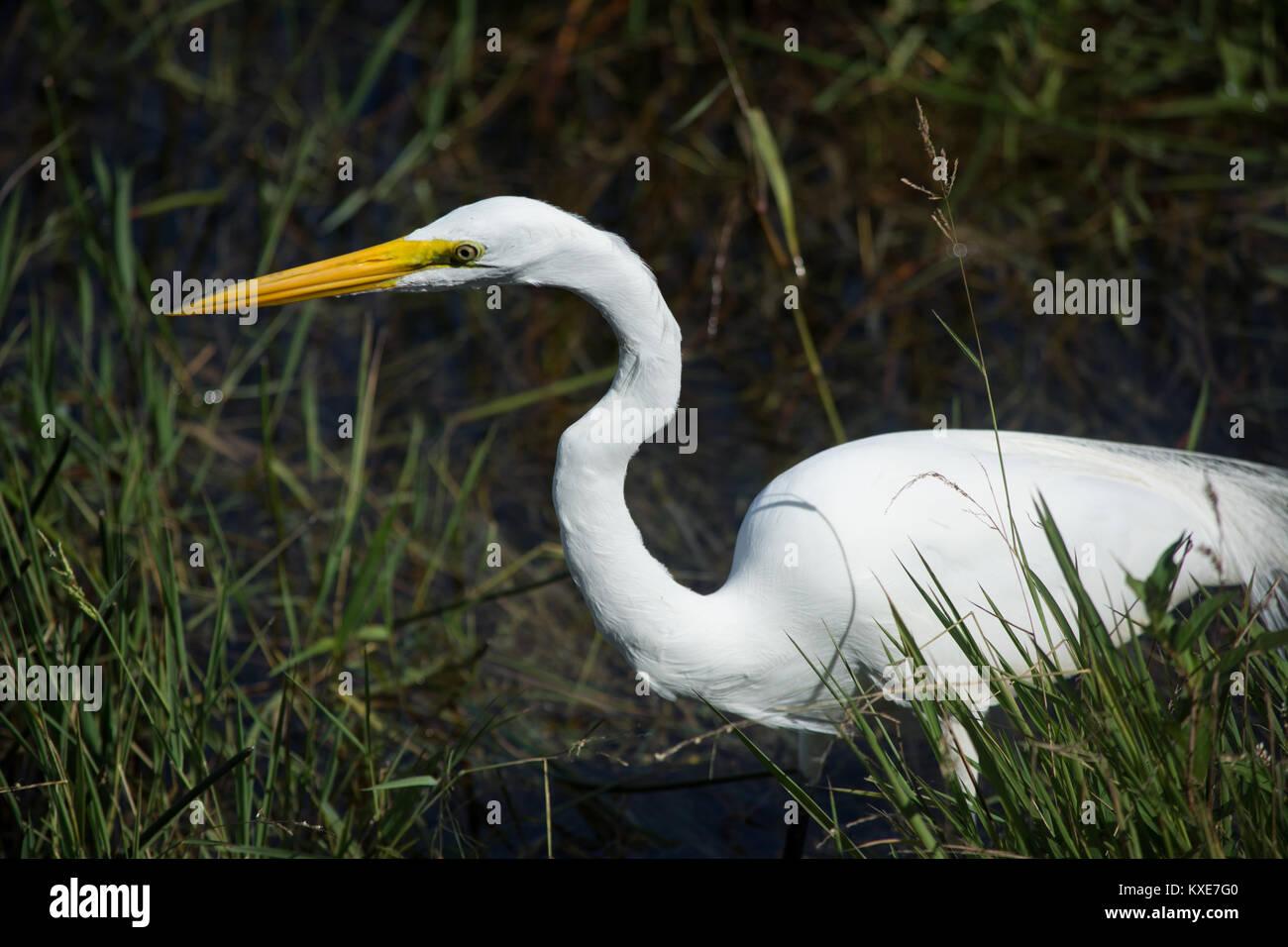 Great Egret (Ardea alba) from Miami-Dade County, Florida, USA. - Stock Image