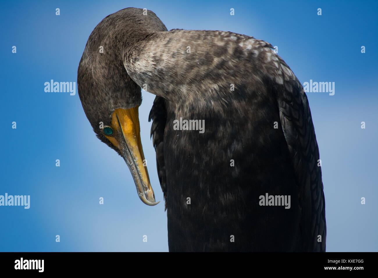 Double-crested Cormorant (Phalacrocorax auritus) from Miami-Dade County, Florida, USA. - Stock Image