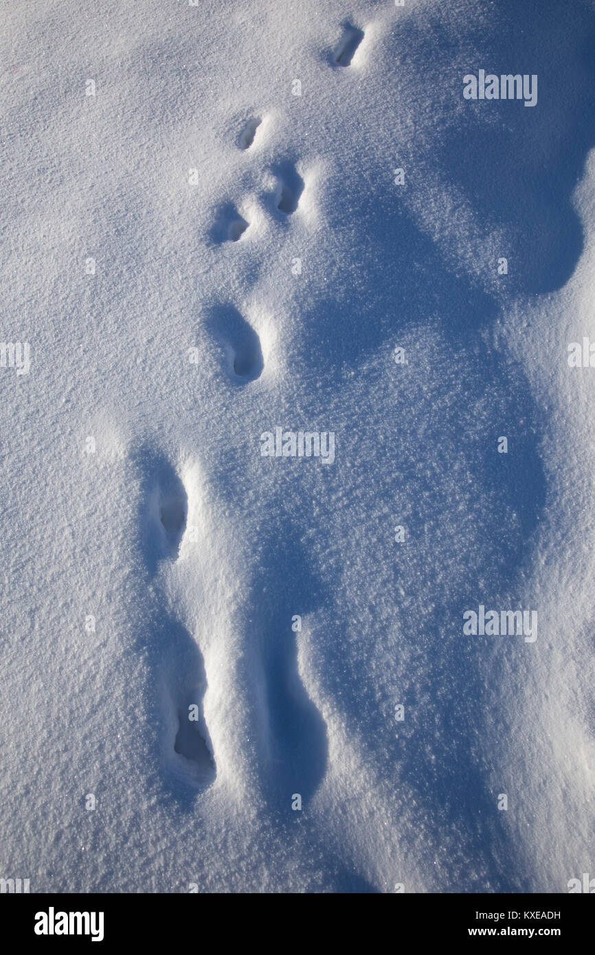 Animal tracks through snow. - Stock Image