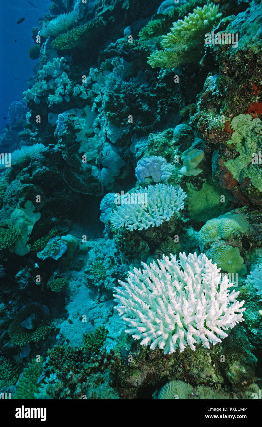 Bleached stone corals, coral bleaching, consequences of global warming, coral reef at Maldives islands, Indian ocean, - Stock Image