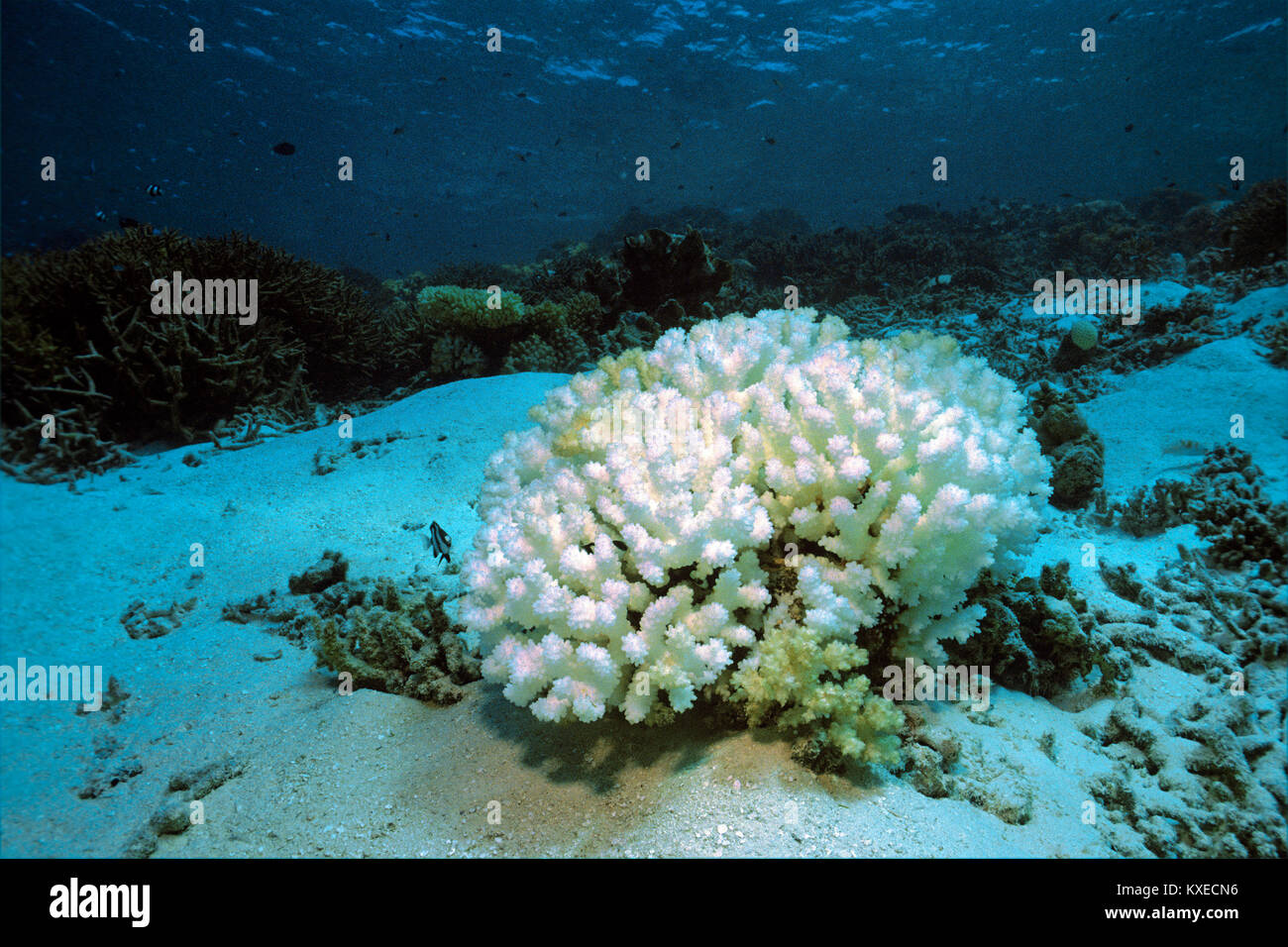 Bleached stone coral, coral bleaching, consequences of global warming, coral reef at Maldives islands, Indian ocean, - Stock Image