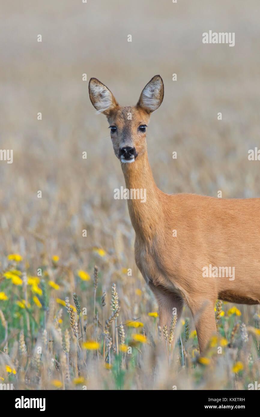 European roe deer (Capreolus capreolus) doe / female foraging in wheat field with wildflowers in July in summer - Stock Image