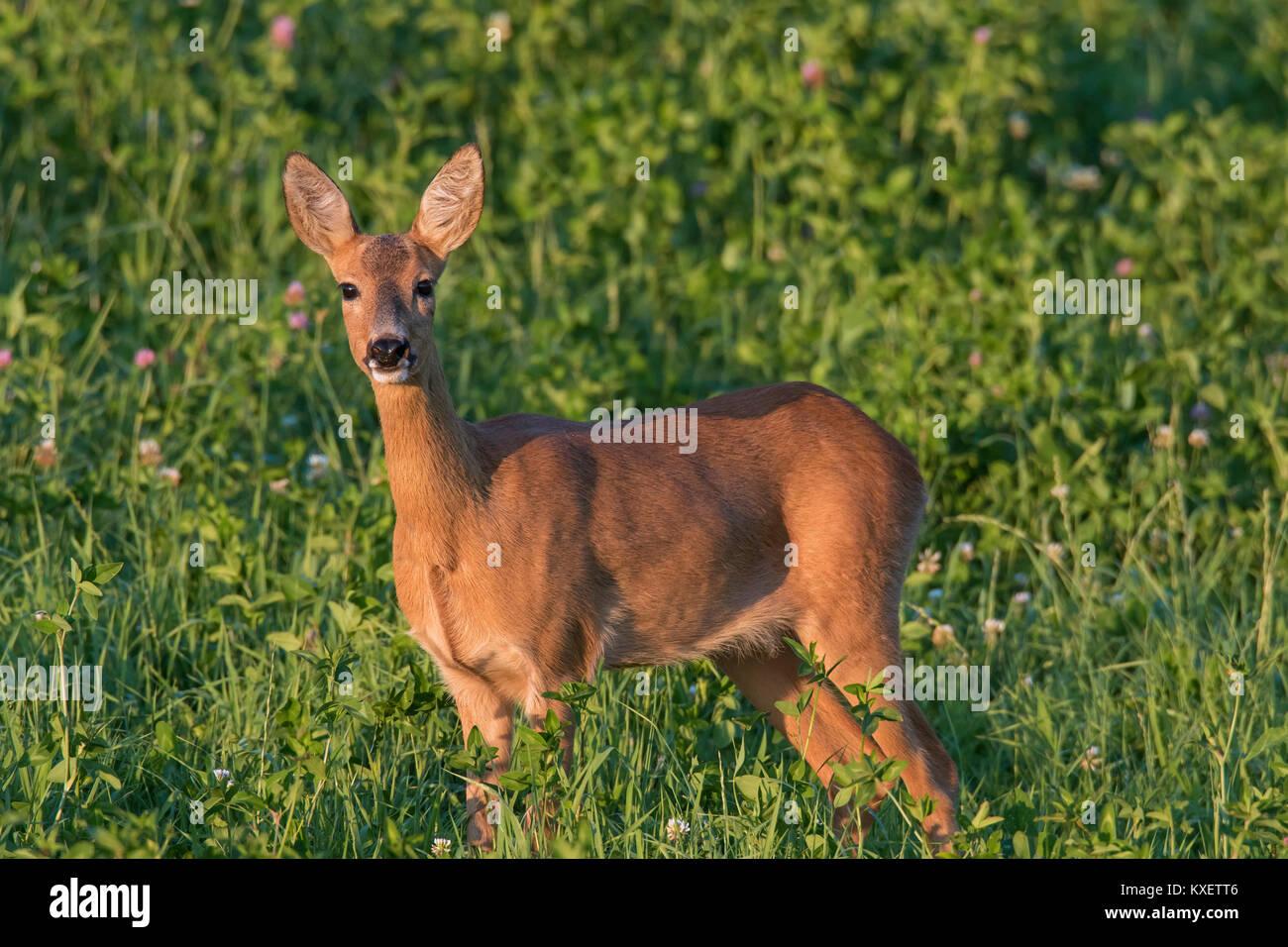 European roe deer (Capreolus capreolus) doe / female foraging in meadow in July in summer - Stock Image