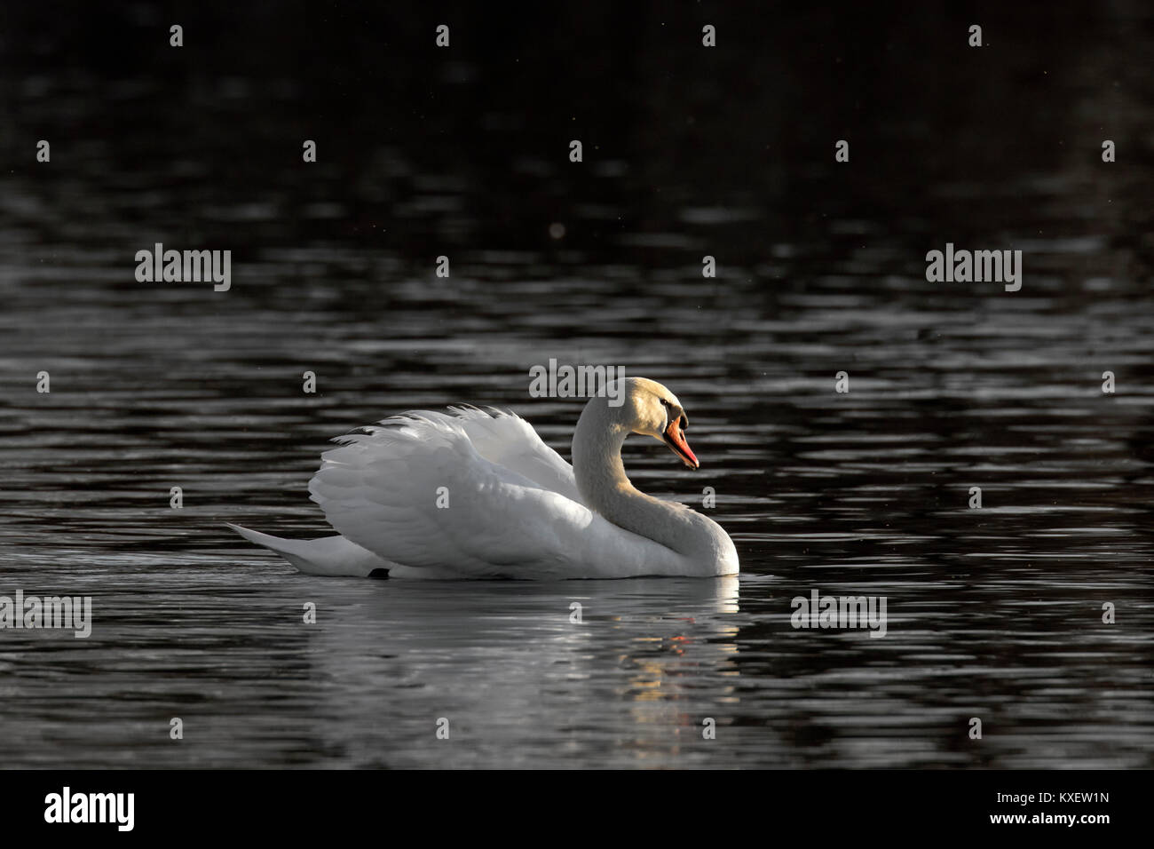 Territorial mute swan (Cygnus olor) male swimming in lake while showing dominant aggressive posture in spring - Stock Image