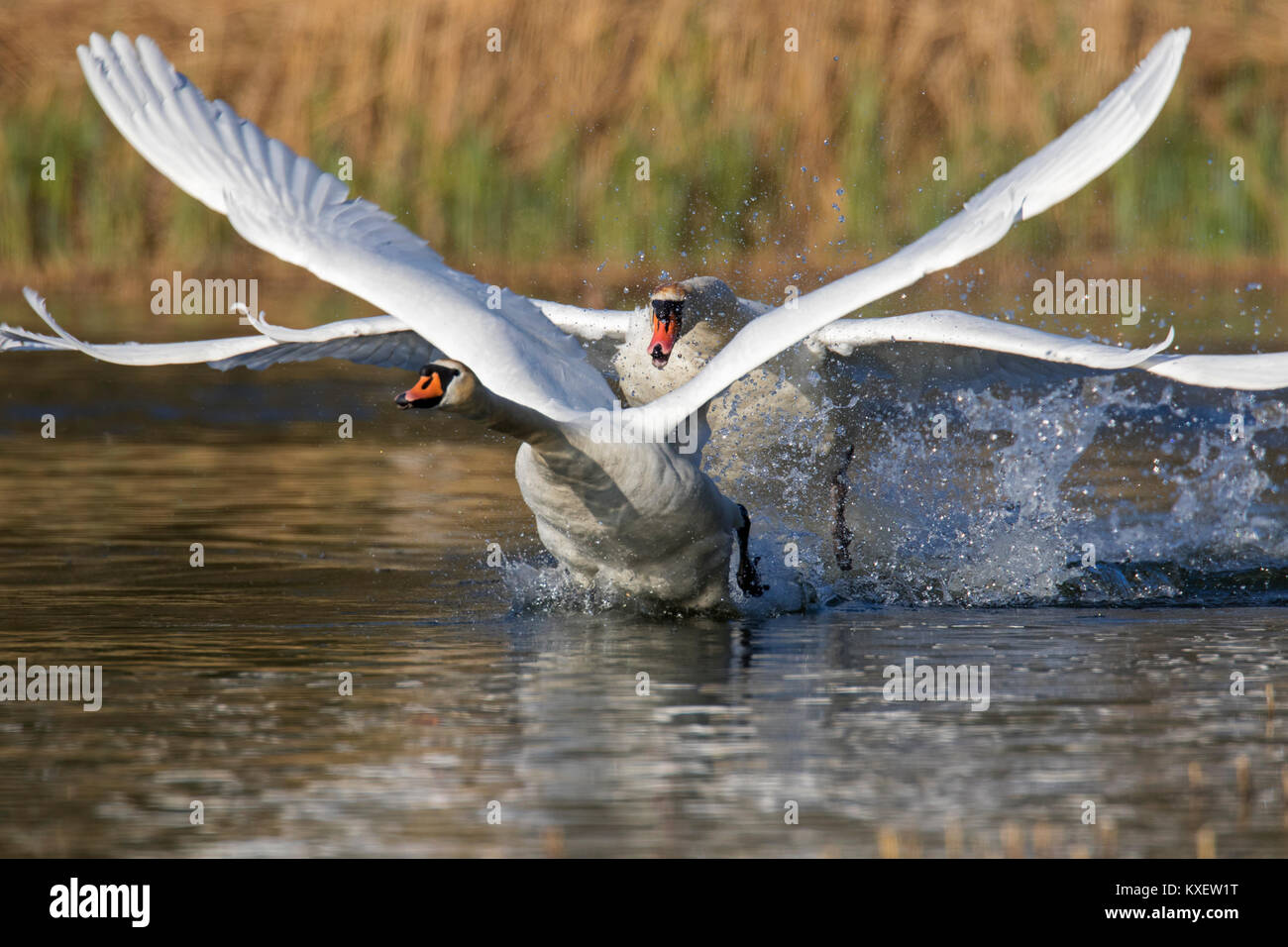 Territorial mute swan (Cygnus olor) male chasing away young swan swimming in lake in spring - Stock Image