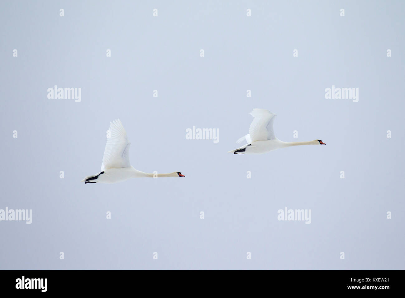 Two mute swans (Cygnus olor) in flight against pale sky - Stock Image