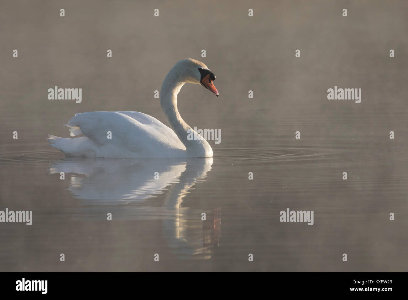 Mute swan (Cygnus olor) swimming in lake covered in early morning mist - Stock Image